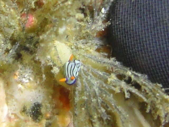 DSC00968クロスジリュウグウウミウシ亜科