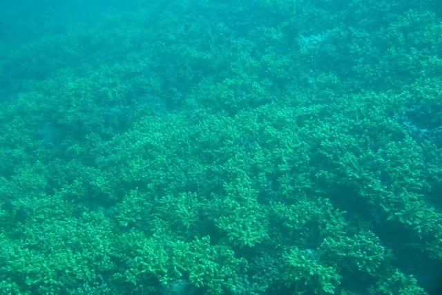 DSC03985サンゴの群生地