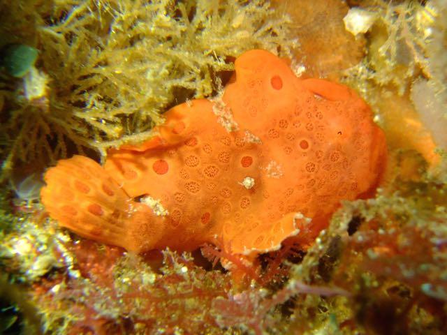 DSCF1787オオモンカエル幼魚