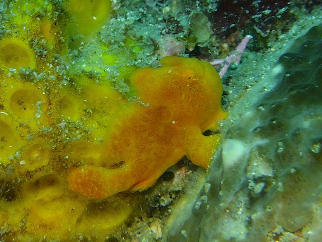 DSCF2768オオモンカエル幼魚