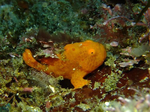 DSCF2908裏角オオモンカエル幼魚