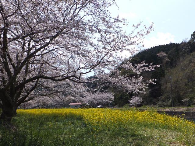 DSCF3824おととしの桜
