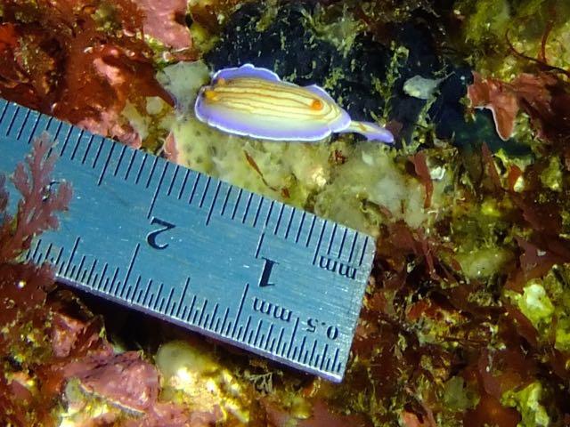 DSCF5072アオウミウシ属の一種5
