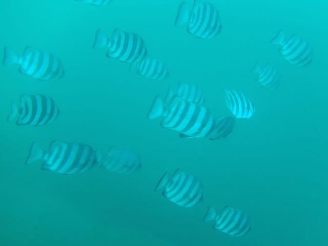 DSCF6007イシダイ若魚