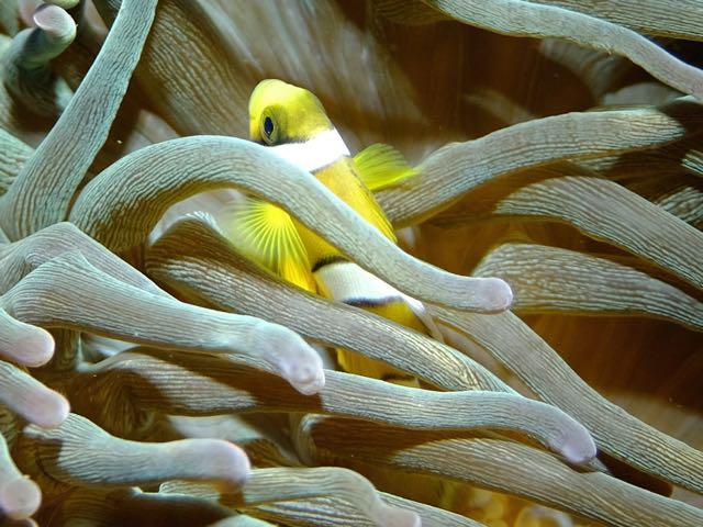DSCF6649クマノミ幼魚