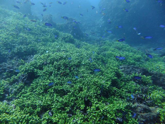 DSCF6770サンゴ群生