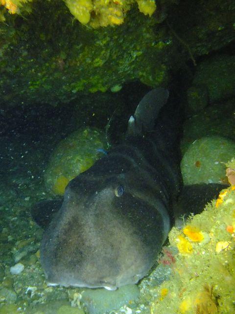 DSCF7022ネコザメ