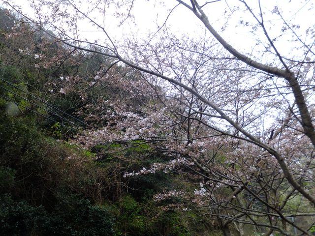 DSCF7060桜