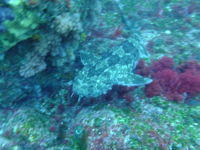 DSCF7143泳ぐオオセ
