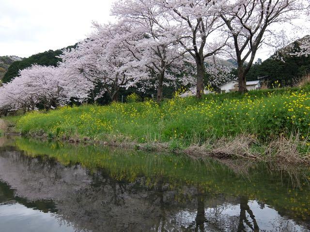 DSCF7284川面に映る桜