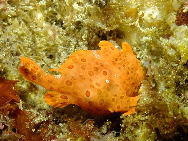 DSCF7600ロッカク岩オレンジカエル