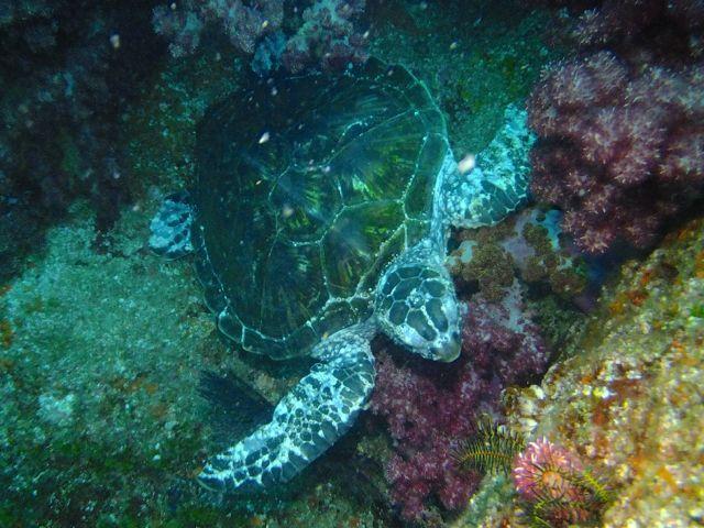 DSCF7862アオウミガメ