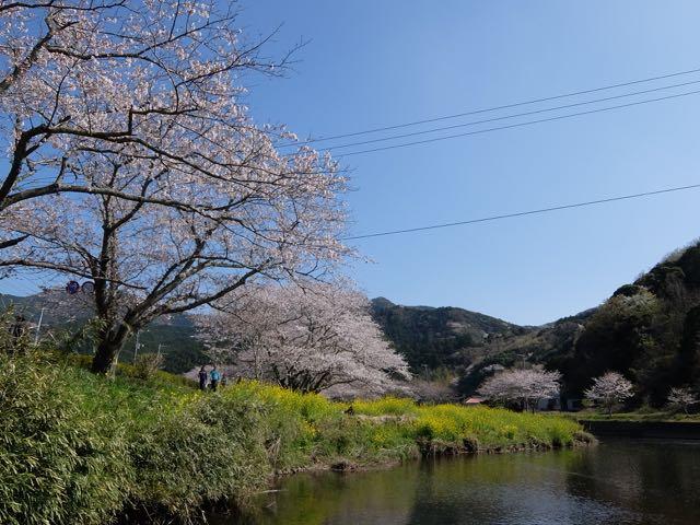 DSCF8101川沿いの桜