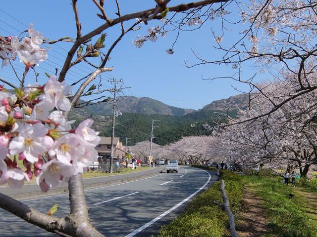 DSCF8106道沿いの桜