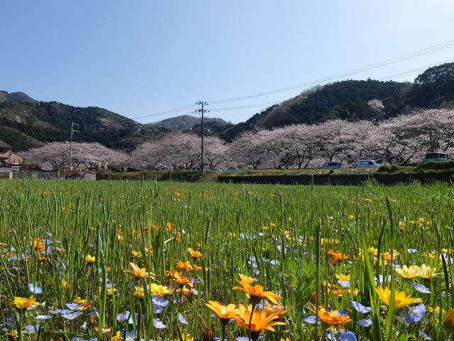 DSCF8114花畑越しの桜
