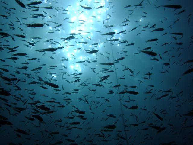 DSCF8157グンカンの魚影