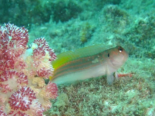 DSCF8282沖の根スジタテガミカエルウオ