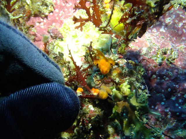 DSCF8823オオモンカエル幼魚