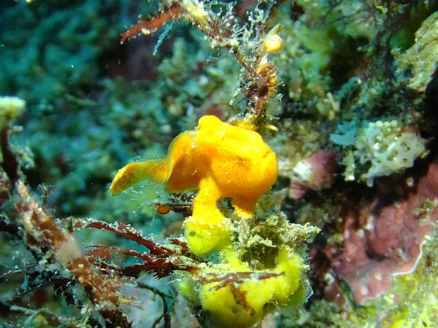 DSCF8930オオモンカエル幼魚