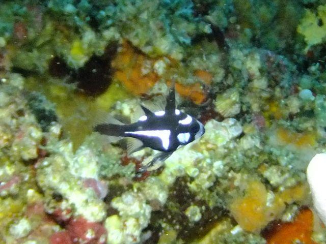 DSCF8947ホホスジタルミ幼魚