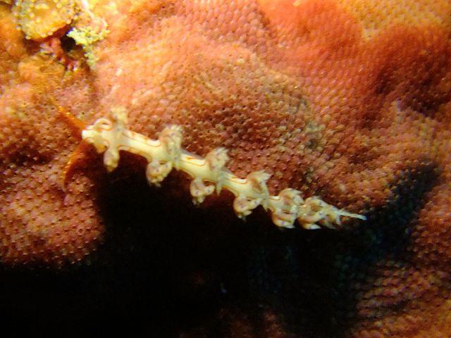 DSCF9200ヨツスジミノウミウシ科の一種1