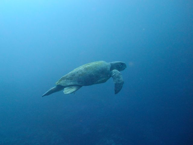 DSCF9271アカウミガメ