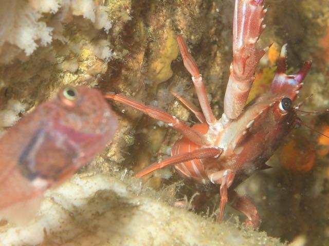 DSC_2835ベニイシガニ抱卵個体