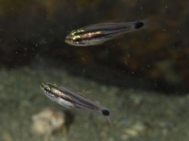 DSC_2931オオスジイシモチ幼魚