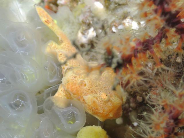 DSC_3030オオモンカエル幼魚