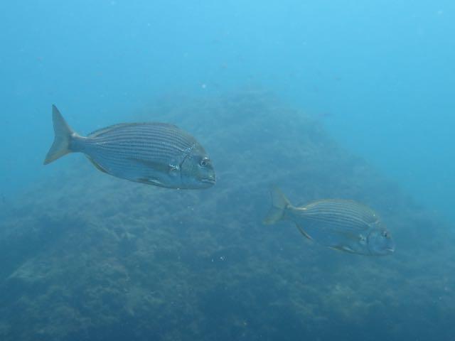 IMG_0081黒鯛