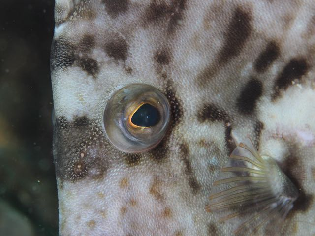 IMG_0243カワハギの目