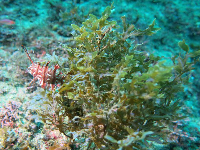 IMG_1809海藻にオビテンスモドキ