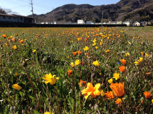 IMG_2602田んぼの花畑