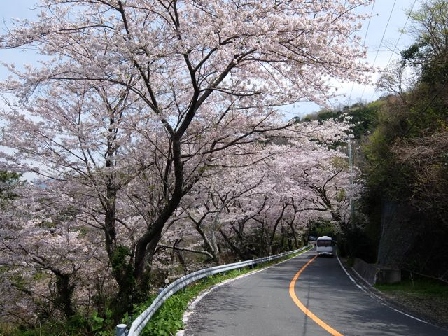 IMG_2723桜のトンネル