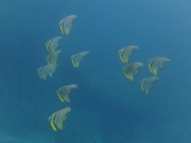 IMG_3773ツバメウオの若魚