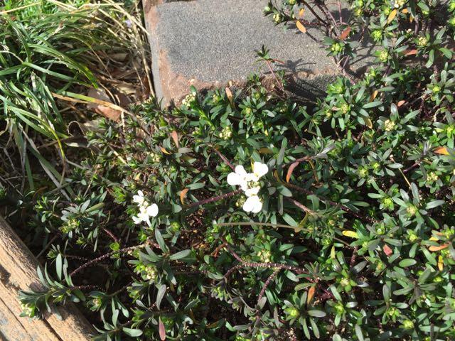 IMG_4303イベリスの花