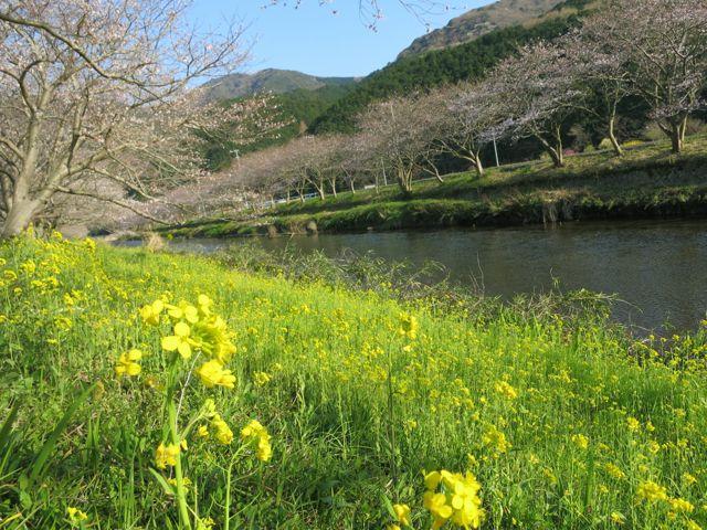 IMG_4677一分咲きの桜