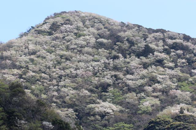 IMG_9126山桜