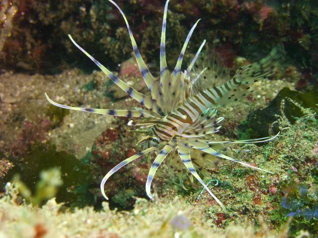 P1050283ハナミノカサゴ幼魚